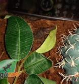 Magazoo Scorpion à dos rouge/Hottentotta hottentotta
