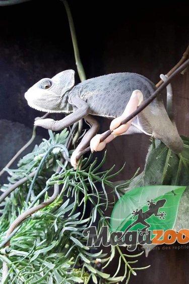 Magazoo Caméléon casqué du Yemen juvenil translucide Femelle