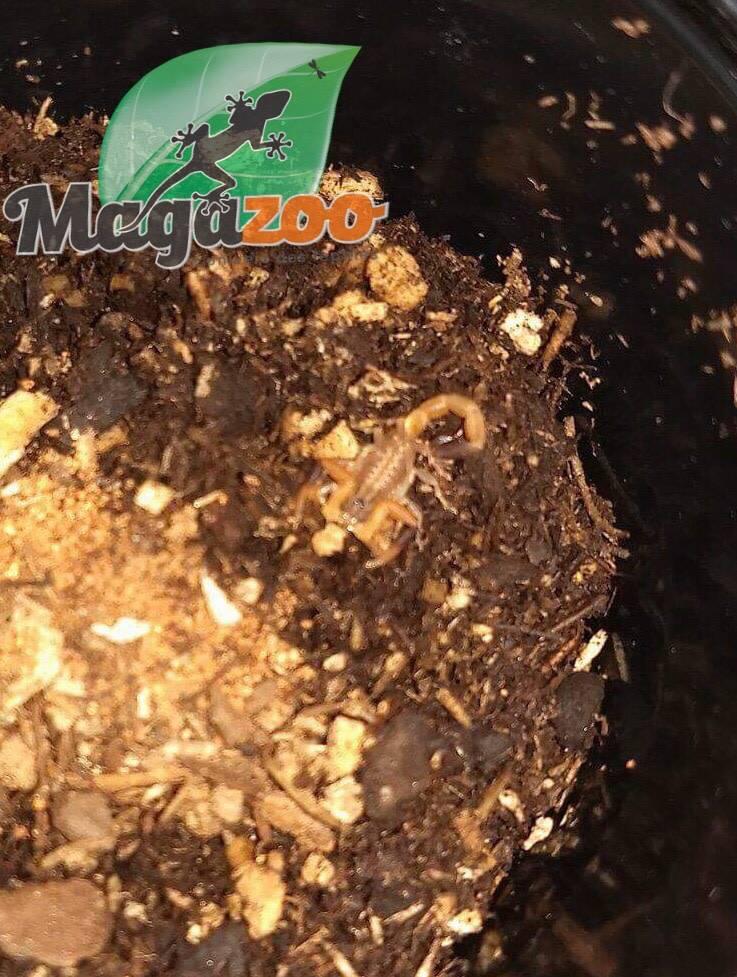 Magazoo Scorpion à dos rouge bébé/Hottentotta hottentotta (First instar)