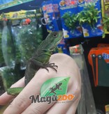 Magazoo Dragon d'eau chinois juvénile