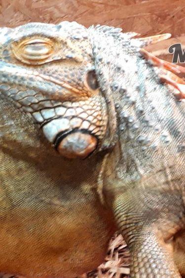 Magazoo Iguane Rouge Mâle Adulte
