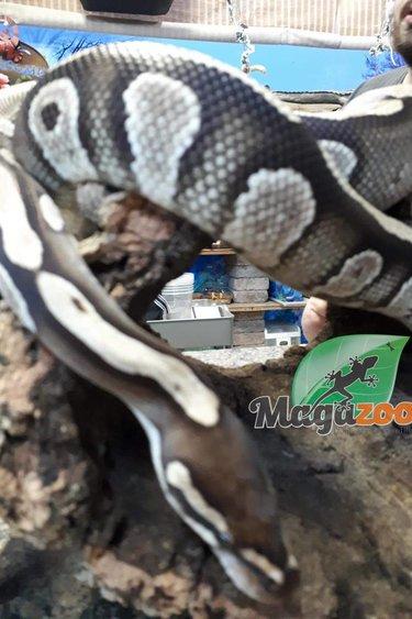 Magazoo Python royal Mojave Mâle