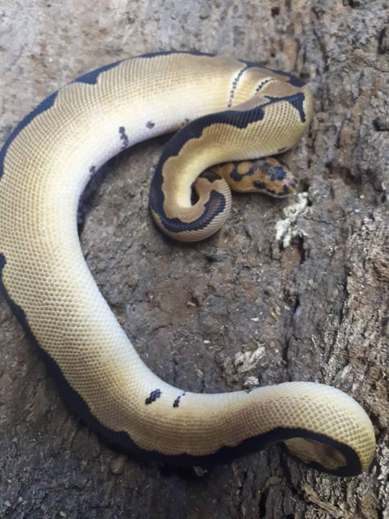 Magazoo Python royal blade clown mâle bébé