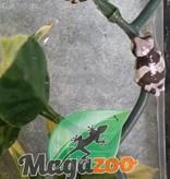 Magazoo Rainette laiteuse