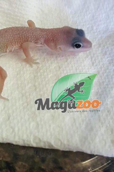 Magazoo Gecko léopard Blizzard