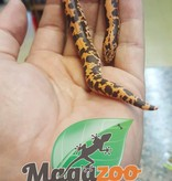 Magazoo Boa des sable du Kenya Bébé