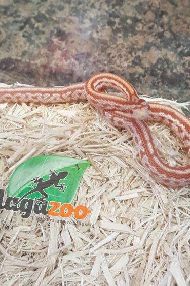 Magazoo Serpent des blés Tessera albino rouge bébé