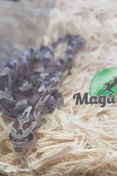 Magazoo Serpent des blés Anerythristique bébé femelle