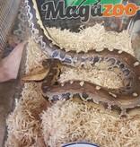 Magazoo Python à queue courte de Bornéo/Python breitensteini