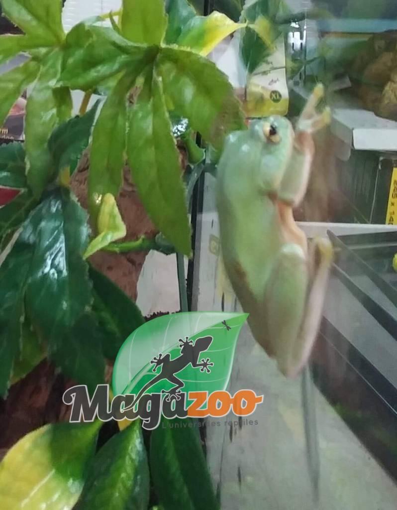 Magazoo Rainette bleue du Vietnam