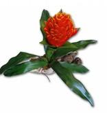 MagNaturals Bromélia sur bois - Bromeliad on Driftwood