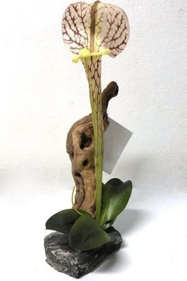 MagNaturals Plante Sarracénie sur bois - Pitcher Plant on Driftwood