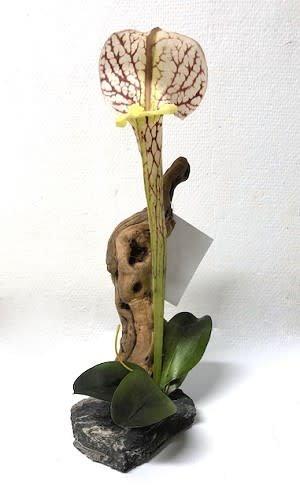 MagNaturals Plante Sarracénie sur bois - Pitcher Plant on Driftwood
