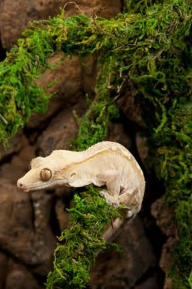 Galapagos Vigne de mousse 60 pieds- MossVine