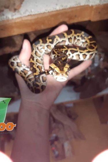Magazoo Python de Birmanie Femelle