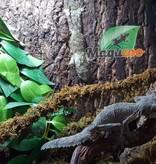 Magazoo Gecko à Queue de Feuille Femelle