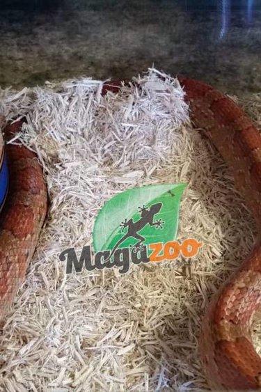 Serpent des blés régulier (mâle adulte)