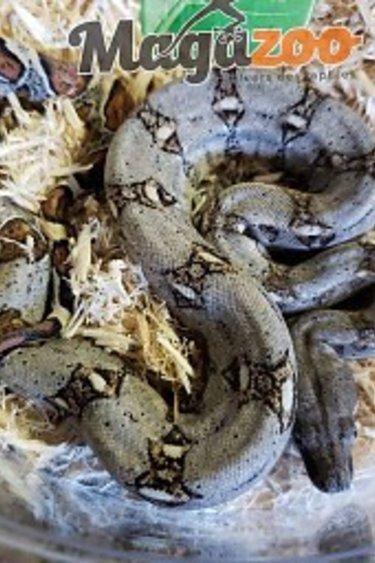 Magazoo Boa constricteur Colombien Bébé
