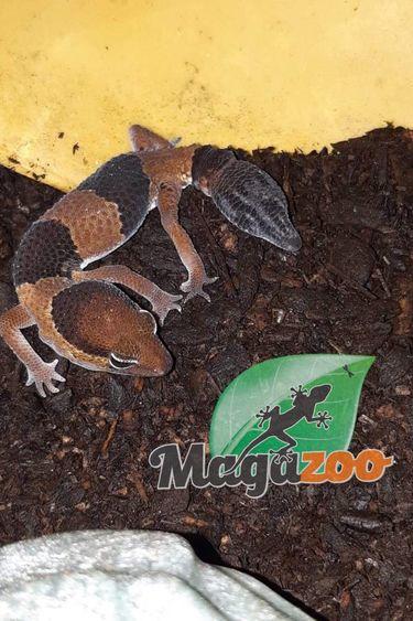 Magazoo Gecko à Queue Grasse (Fat tail) Queue Repoussée