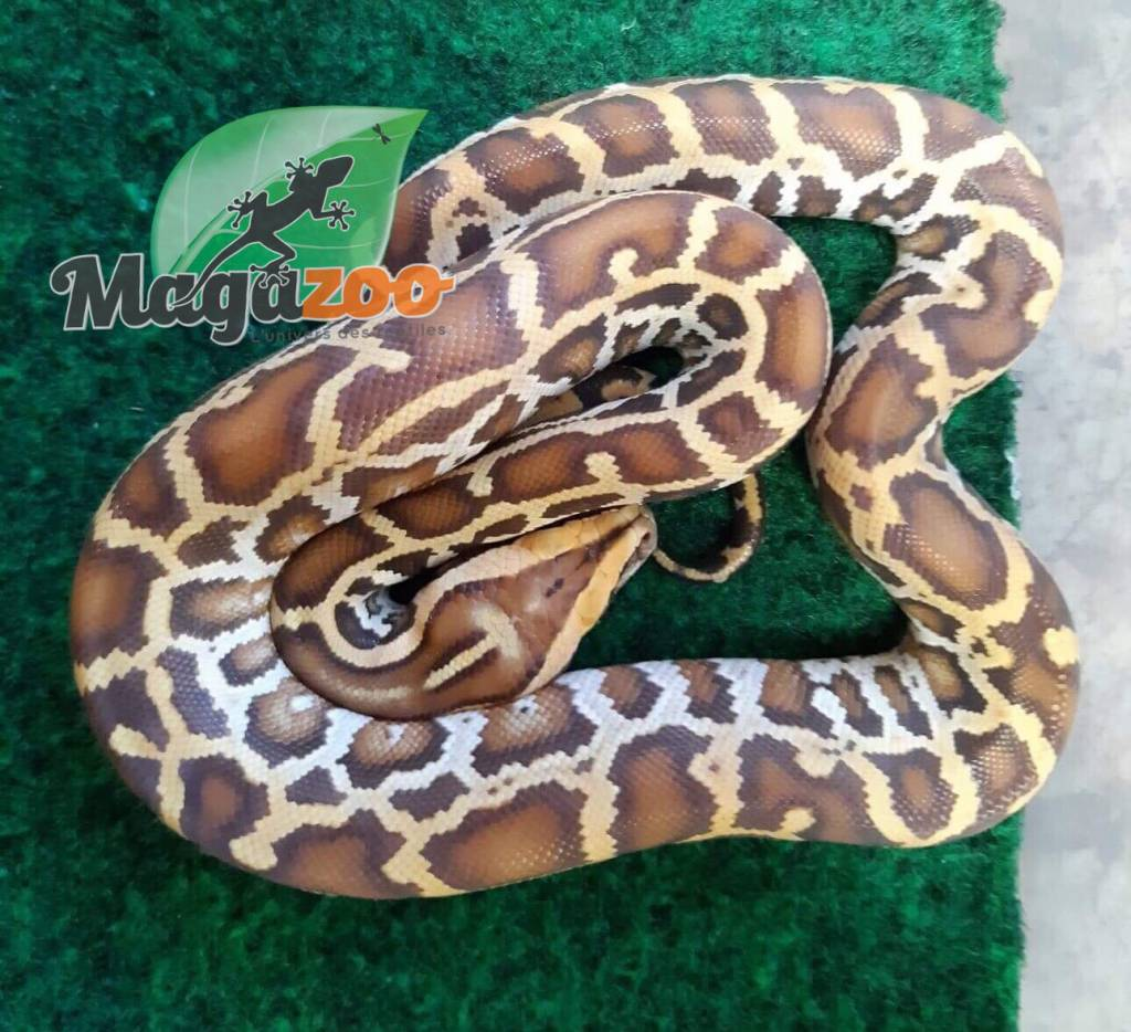Magazoo Python de Birmanie Caramel mâle femelle