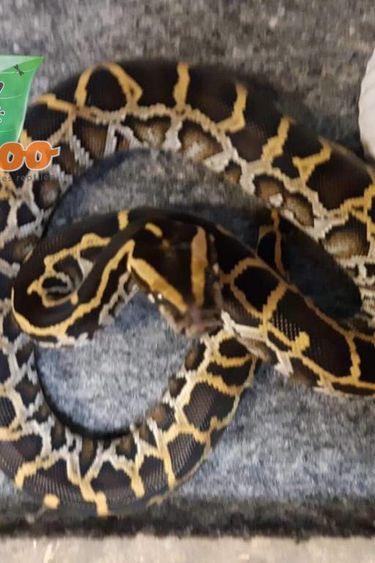 Magazoo Python de Birmanie HET Caramel mâle femelle