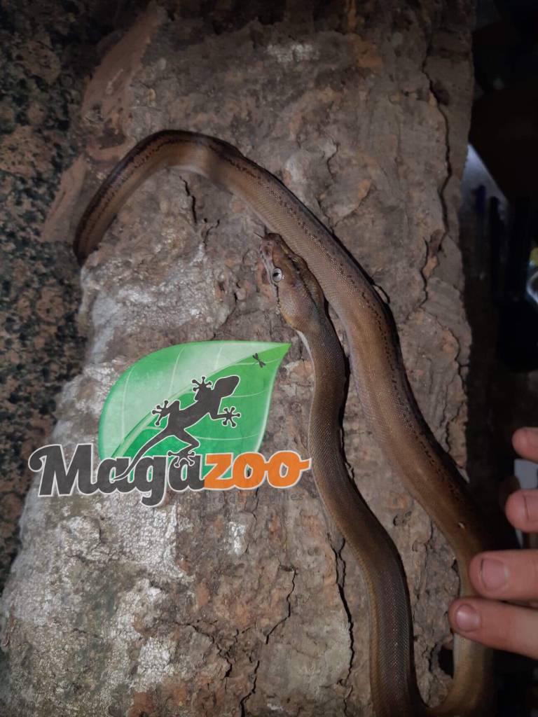 Magazoo Python réticulé SD Golden Child Platinum Tiger 100% HET Purple albino 50% HET White phase albino Mâle