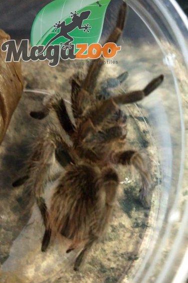 Magazoo Mygale d'Haiti / Phormictopus cancerides (bébé)