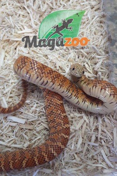 Magazoo Serpent Roi Brooks Hypo Flame Bébé