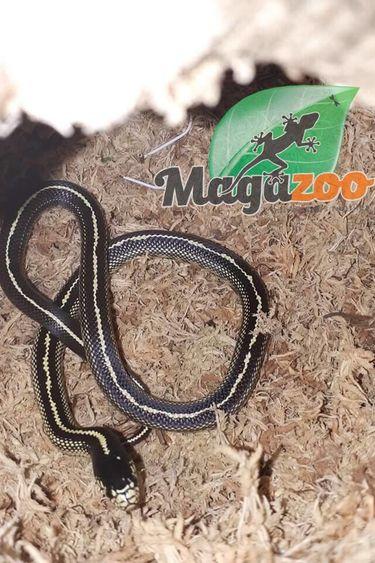Magazoo Serpent roi de californie (ligné) Bébé