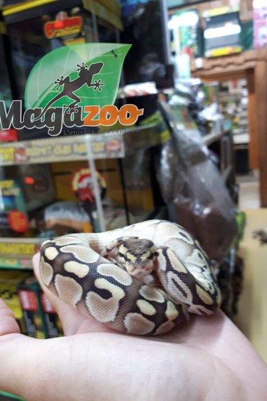 Magazoo Python royal Butter Femelle