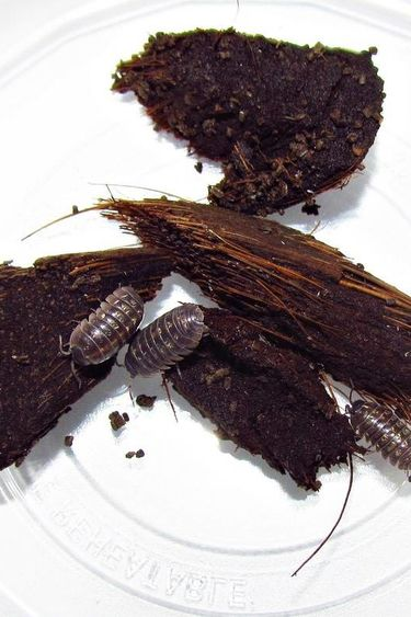Magazoo Culture de Cloportes communs / Common Isopods (A. vulgare) 30+