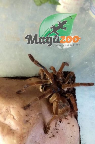 Mygale goliath femelle (5'')/Theraphosa blondi