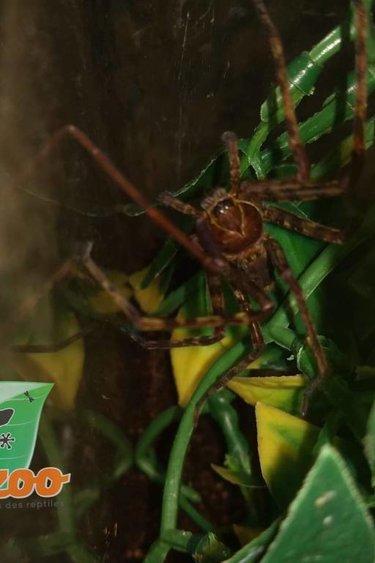 Magazoo Araignée chasseuse de Malaisie(Mâle adulte)/ Heteropoda venatoria