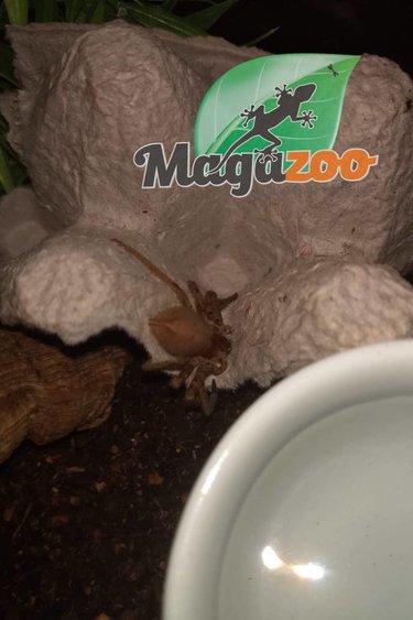 Magazoo Araignée chasseuse de Malaisie(Femelle)/Heteropoda venatoria