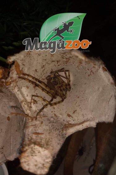 Magazoo Araignée chasseuse lichen/Heteropoda boiei