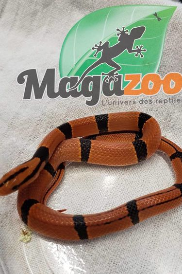 Magazoo Serpent Ratier des montagne du Yunnan Bébé