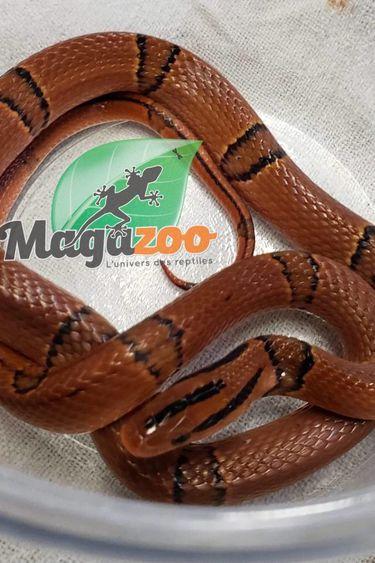 Magazoo Serpent ratier des montagne du Yunnan Femelle juvénile