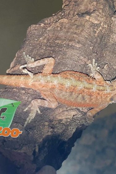 Magazoo Dragon Barbu orange tranlucide hypo Bébé