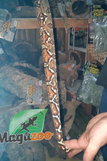 Magazoo Boa constricteur colombien x Hog Island (Femelle)
