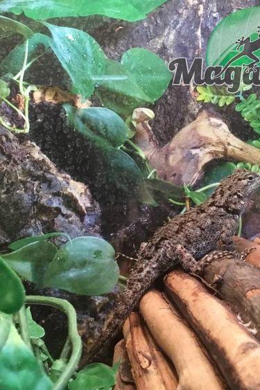 Magazoo Lézard épineux émeraude femelle