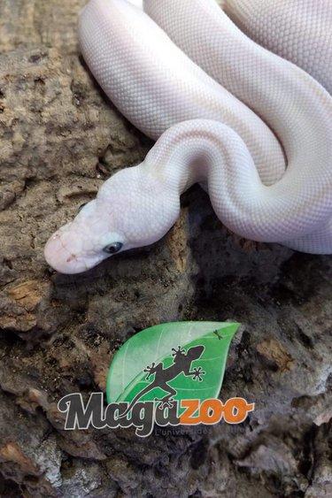 Magazoo Python royal leucistique blue eyes (lesser mojave) Mâle
