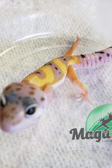 Magazoo Gecko léopard hypo tangerine jungle bébé