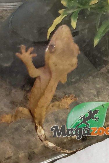 Magazoo Gecko à Crête Bicolor Dalmatien Bébé