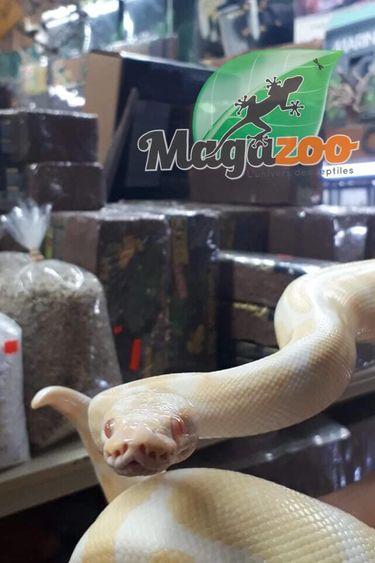 Magazoo Python royal Albinos Femelle Adulte