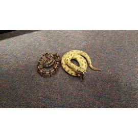 Snake 57 inch