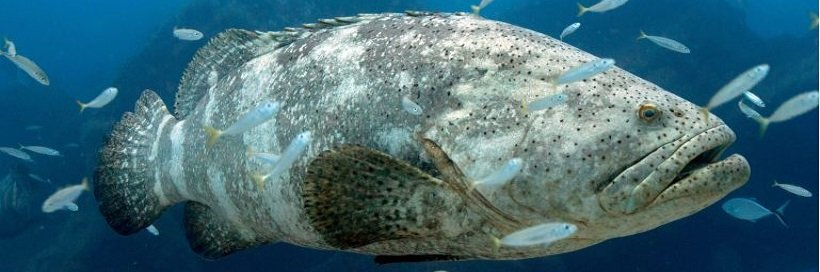 Our Favorite Giants: Goliath Grouper
