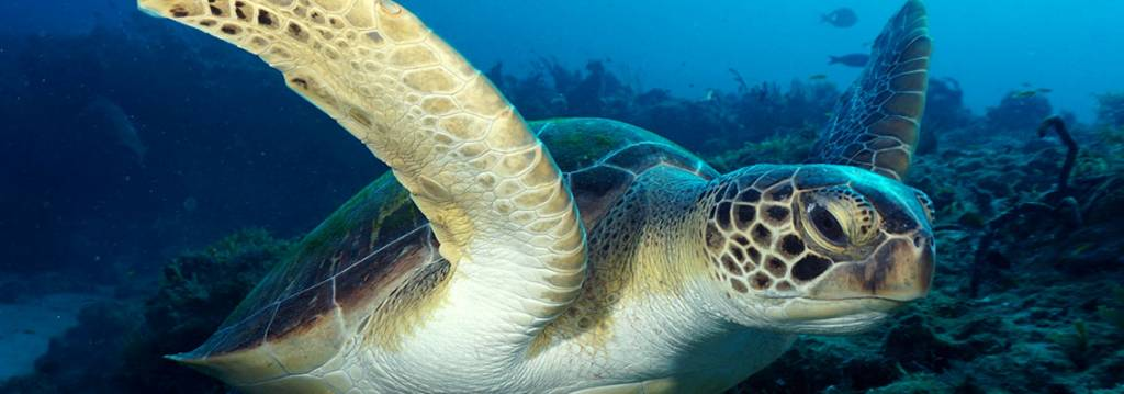 Diving with Dinosaurs: Swim with one of the oldest creatures - the Sea Turtle