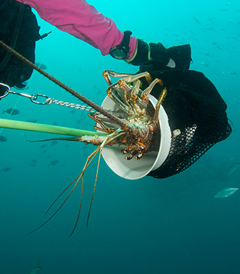 Spiny Lobster Mini Season