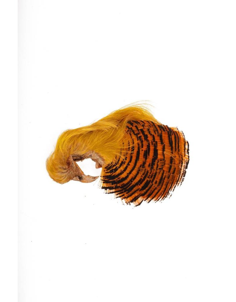 Golden Pheasant Complete Head