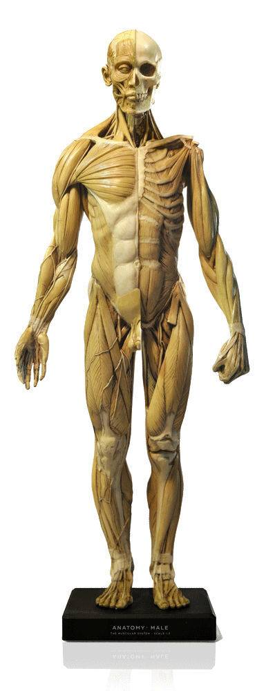 Anatomy tools Anatomy Tools Male V1 1:3 Scale Figure